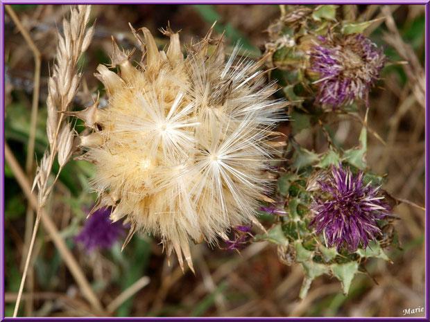 Fleurs de chardon et akène dans la garrigue des Alpilles, Bouche du Rhône