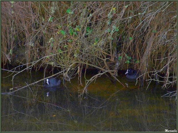 Couple de Foulques cachés et reflets hivernaux dans un réservoir sur le Sentier du Littoral côté Bassin, secteur Moulin de Cantarrane, Bassin d'Arcachon