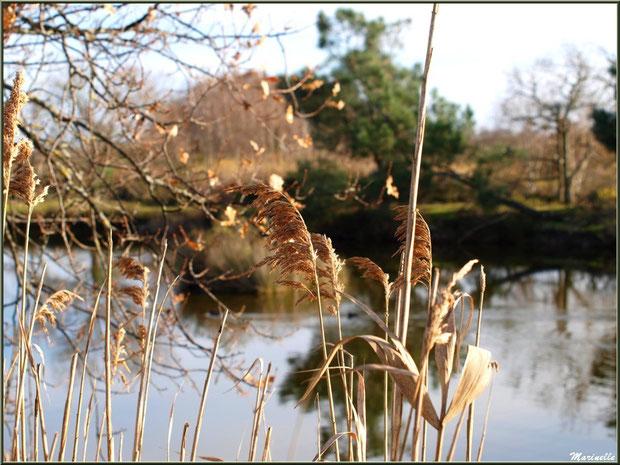 Chêne et roseaux en bordure d'un réservoir, Sentier du Littoral, secteur Port du Teich en longeant La Leyre, Le Teich, Bassin d'Arcachon (33)