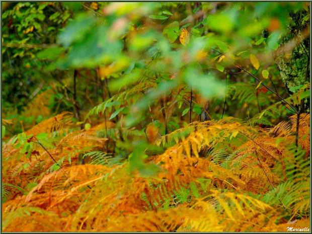 Fougères automnales en sous-bois, forêt sur le Bassin d'Arcachon (33)