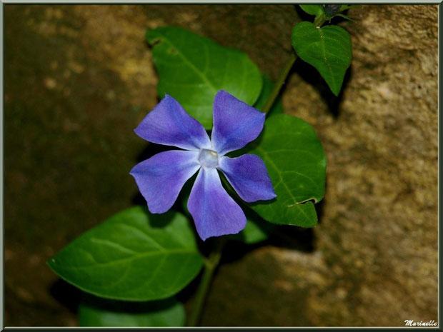 Pervenche ou Herbe de Fidélité ou Herbe à la Capucine ou Violette des Morts ou Violette des Serpents ou Violette des Sorciers, flore Bassin d'Arcachon (33)