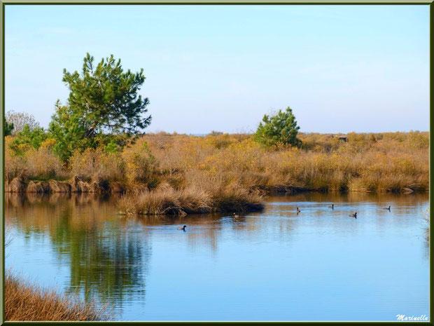 Foulques dans un réservoir sur le Sentier du Littoral côté Bassin, secteur Moulin de Cantarrane, Bassin d'Arcachon