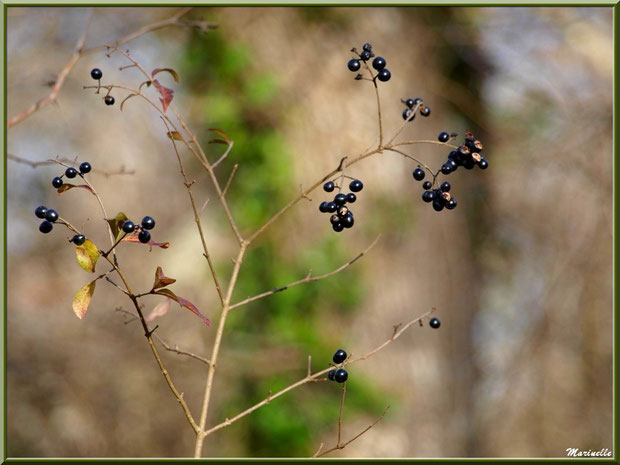 Baies de Troène hivernales, flore sur le Bassin d'Arcachon (33)