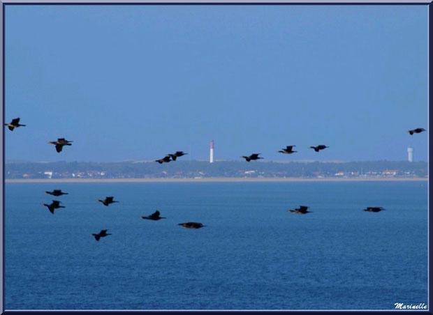 Vol de cormorans au-dessus du Bassin et, en toile de fond, le Cap Ferret avec son phare et son sémaphore, vus depuis la jetée promenade de La Corniche à Pyla-sur-Mer, Bassin d'Arcachon (33)