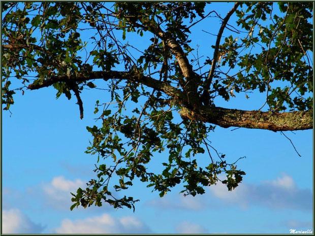 Chêne dans les nuages, forêt sur le Bassin d'Arcachon (33)