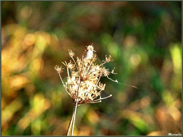 Herbacées hivernales des marais, Sentier du Littoral, secteur Domaine de Certes et Graveyron, Bassin d'Arcachon (33)