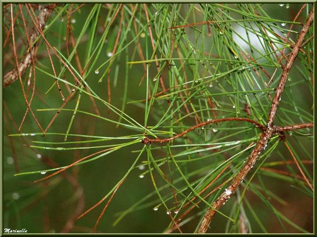 Branche de pin après ondée, forêt sur le Bassin d'Arcachon (33)