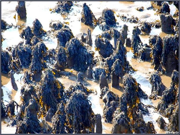 Goémon sur piquets, côté Bassin, Sentier du Littoral, secteur Domaine de Certes et Graveyron, Bassin d'Arcachon (33)
