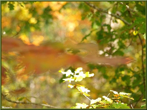 Feuille de chêne automnal tel un esprit qui passe, forêt sur le Bassin d'Arcachon (33)