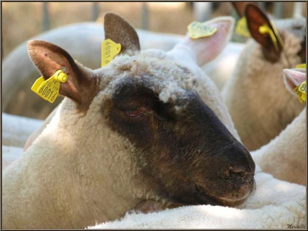 Portrait d'un mouton du troupeau à la Fête de la Nature 2013 au Parc de la Chêneraie à Gujan-Mestras (Bassin d'Arcachon)