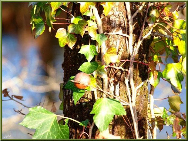 Au soleil, boule de chêne blottie dans un lierre au Parc de la Chêneraie à Gujan-Mestras (Bassin d'Arcachon)