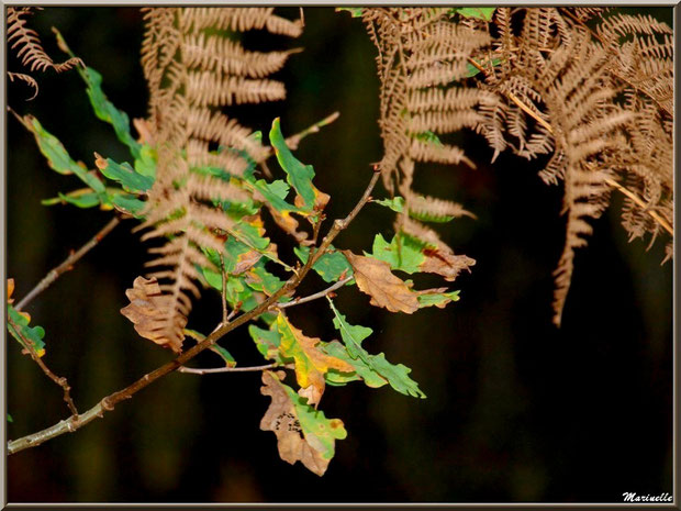 Fougères automnales et branche de chênes, en forêt sur le Bassin d'Arcachon (33)