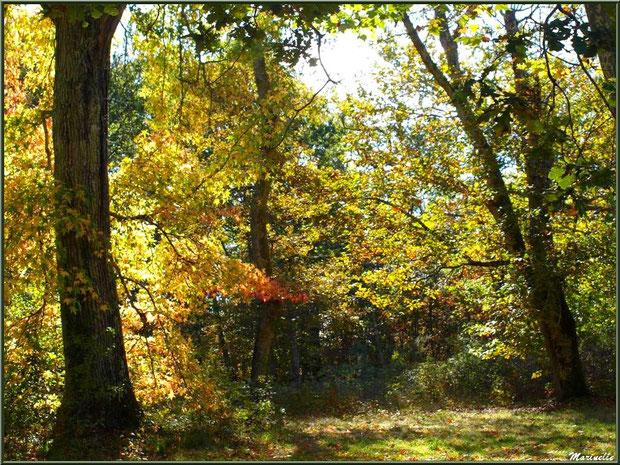 Sous-bois de Chênes et Liquidambars (ou Copalmes d'Amérique) en période automnale, forêt sur le Bassin d'Arcachon (33)