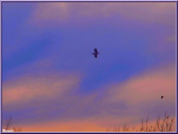Mouettes en vol au soleil couchant au-dessus du Sentier du Littoral, secteur Port du Teich en longeant La Leyre, Le Teich, Bassin d'Arcachon (33)