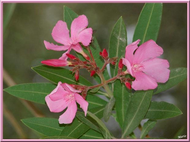Laurier rose à Saint Rémy de Provence, Alpilles (13)