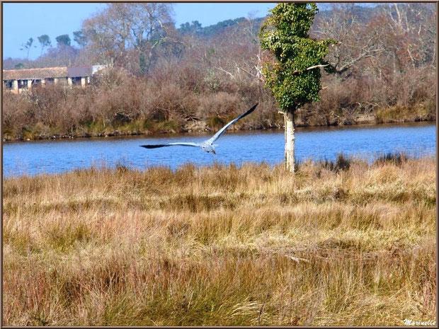 Héron en vol entre marais et réservoir, Sentier du Littoral, secteur Domaine de Certes et Graveyron, Bassin d'Arcachon (33)