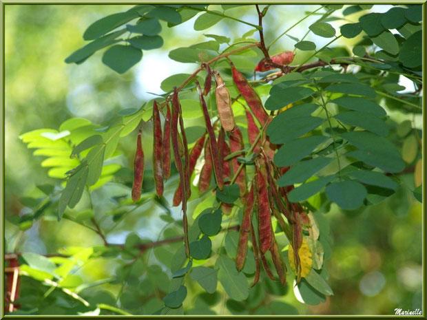 Acacia et ses gousses au Parc de la Chêneraie à Gujan-Mestras (Bassin d'Arcachon)