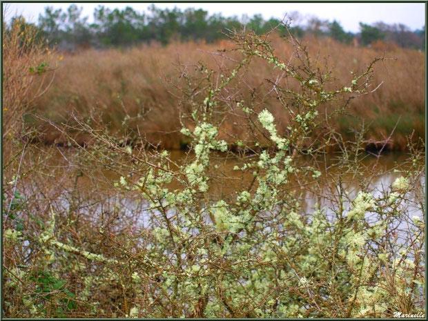 Mousse des Chênes ou Evernia Prunastri telle des fleurs sur des arbrisseaux en bordure d'un réservoir, Sentier du Littoral, secteur Moulin de Cantarrane, Bassin d'Arcachon
