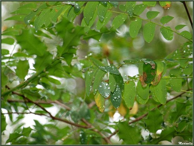 Acacia et houx après ondée, forêt sur le Bassin d'Arcachon (33)