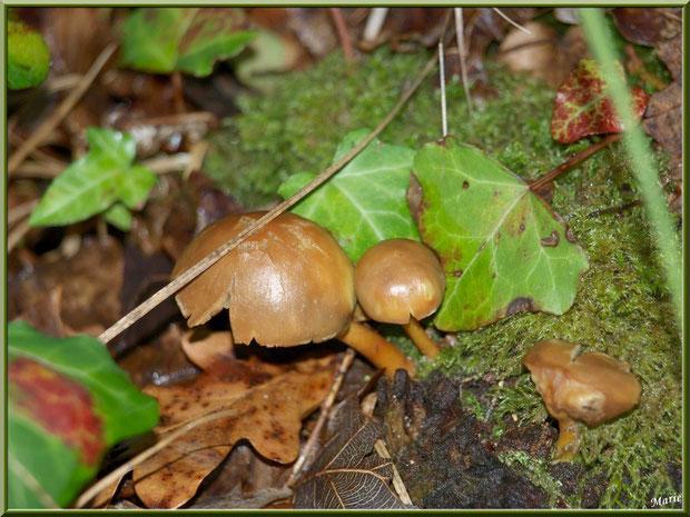 Hypholomes en Touffe vieillissants en forêt sur le Bassin d'Arcachon