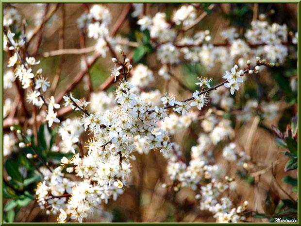 Arbrisseau en fleurs printanières en bordure du sentier forestier, Sentier du Littoral secteur Pont Neuf, Le Teich, Bassin d'Arcachon (33)