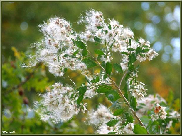 Baccharis ou Faux Cotonnier, en fin de floraison, au vent, flore Bassin d'Arcachon (33)