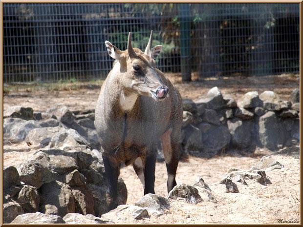 Nilgaut, Zoo du Bassin d'Arcachon, La Teste de Buch (33)