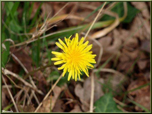 Fleur de Pissenlit, flore Bassin d'Arcachon (33)
