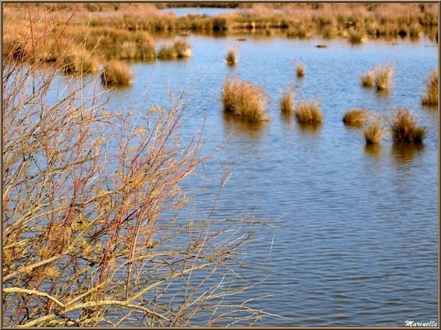 Végétation hivernale d'un réservoir, Sentier du Littoral, secteur Domaine de Certes et Graveyron, Bassin d'Arcachon (33)