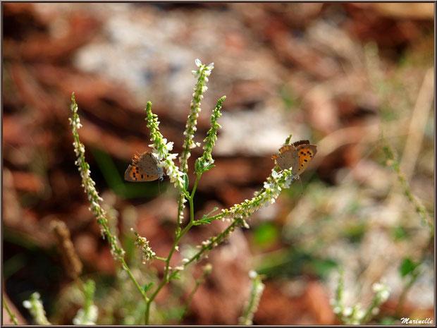 Duo de papillons Tircis sur fleurs de Luzerne sauvage