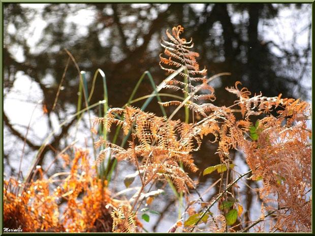 Fougères hivernales, roncier, herbacées et reflets sur le Canal des Landes au Parc de la Chêneraie à Gujan-Mestras (Bassin d'Arcachon)