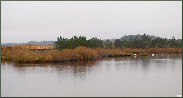 Cabane (ancienne maison d'un garde chasse-pêche ou éclusier) et couple de cygnes au milieu d'un des réservoirs sur le Sentier du Littoral, secteur Moulin de Cantarrane, Bassin d'Arcachon