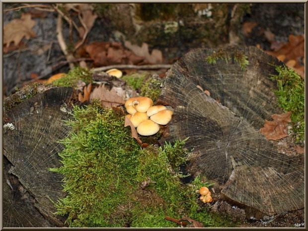 Hypholomes en Touffe sur souche moussue en forêt sur le Bassin d'Arcachon