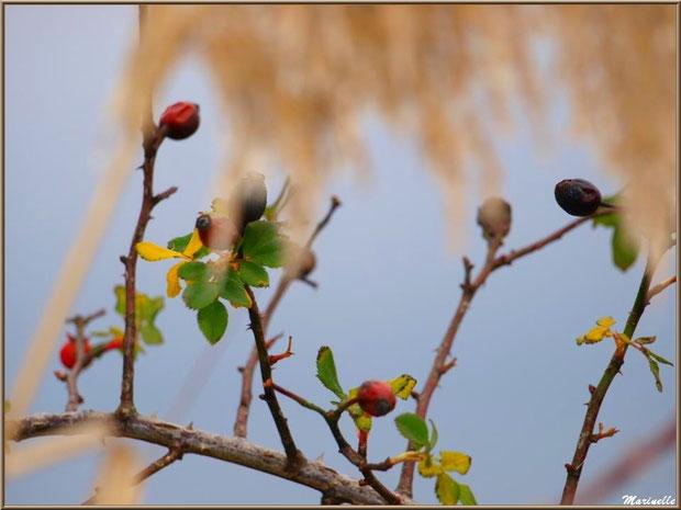 Cynorhodon de rosier sauvage parmi les roseaux, Sentier du Littoral secteur Pont Neuf, Le Teich, Bassin d'Arcachon (33)