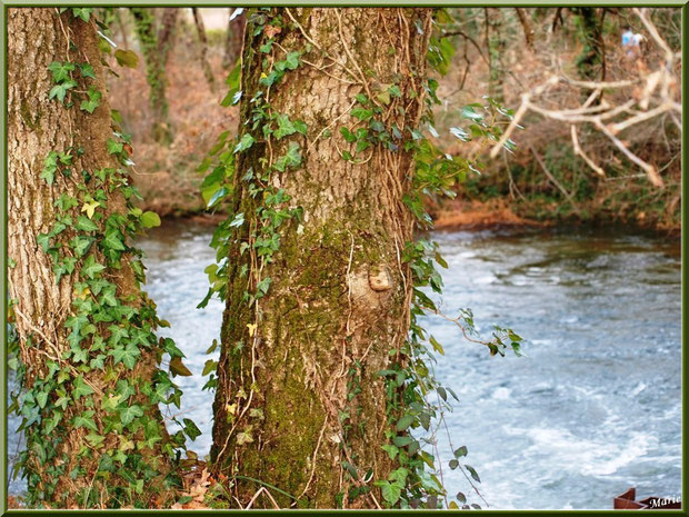 Pin habillé de lierre et de mousse en bordure du Canal des Landes au Parc de la Chêneraie à Gujan-Mestras (Bassin d'Arcachon)