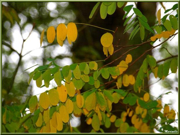 Acacia en tenue début d'automne, sur le sentier bordant La Leyre, Sentier du Littoral au lieu-dit Lamothe, Le Teich, Bassin d'Arcachon (33)