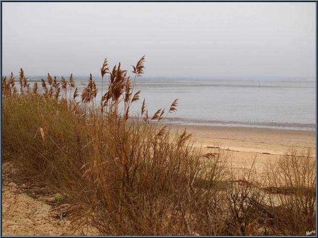 Roseaux longeant le chemin en bordure de plage sur le Sentier du Littoral, secteur Moulin de Cantarrane, Bassin d'Arcachon