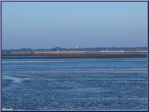Le Bassin à marée basse avec canards Tardone de Belon et bernaches et, à l'horizon, Lanton et Cassy, Sentier du Littoral, secteur Moulin de Cantarrane, Bassin d'Arcachon