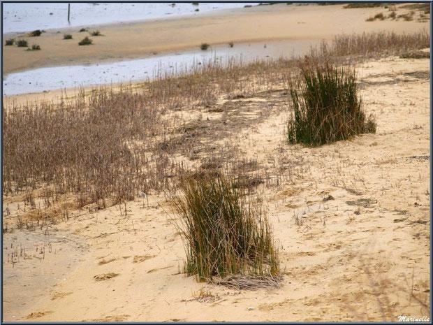 Oyats sur la plage en bordure du Bassin sur le Sentier du Littoral, secteur Moulin de Cantarrane, Bassin d'Arcachon