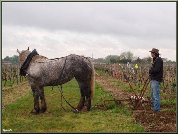 """Un instant de repos pour """"Cheval des Vignes"""", dans un vignoble à St Sulpice de Faleyrens (33) en avril 2012"""