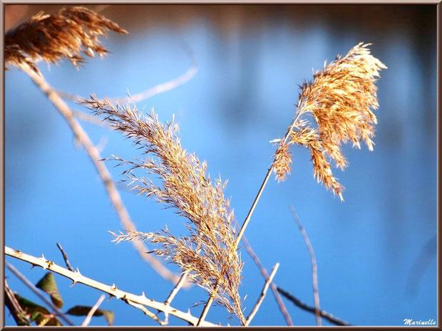 Roseaux et branche de roncier en bordure d'un réservoir, Sentier du Littoral, secteur Port du Teich en longeant La Leyre, Le Teich, Bassin d'Arcachon (33)
