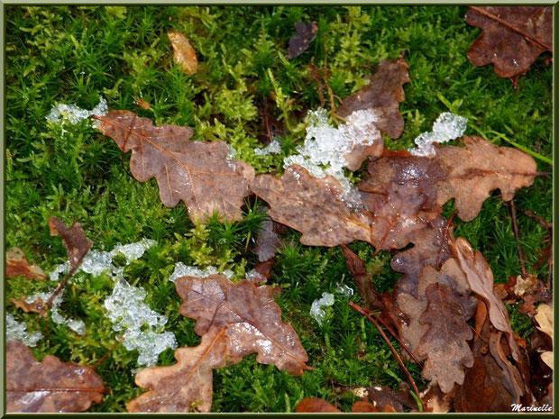 Feuilles de chêne sur tapis de mousse avec un reste de manteau neigeux, forêt sur le Bassin d'Arcachon (33)