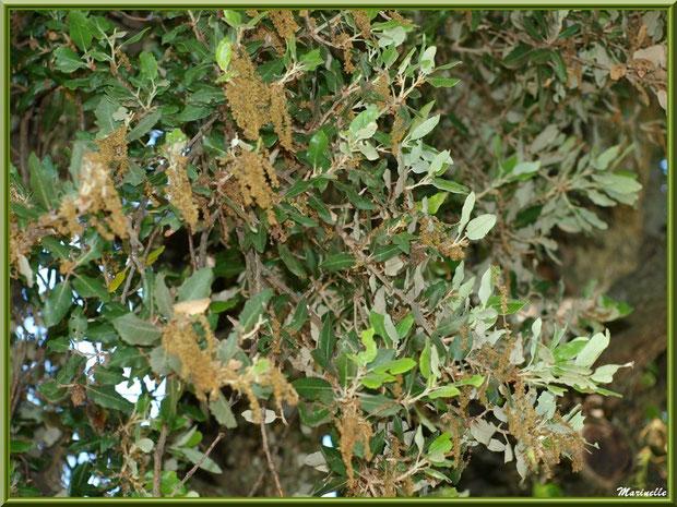 Chêne Vert en fleurs dans la campagne environnante du village de Cucuron, Lubéron (84)