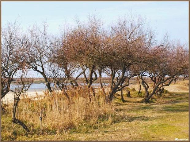 Le sentier et ses tamaris en tenue hivernale en bord de plage, côté Bassin, Sentier du Littoral, secteur Domaine de Certes et Graveyron, Bassin d'Arcachon (33)