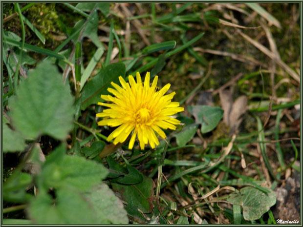 Pissenlit en fleur, Sentier du Littoral, secteur Domaine de Certes et Graveyron, Bassin d'Arcachon (33)