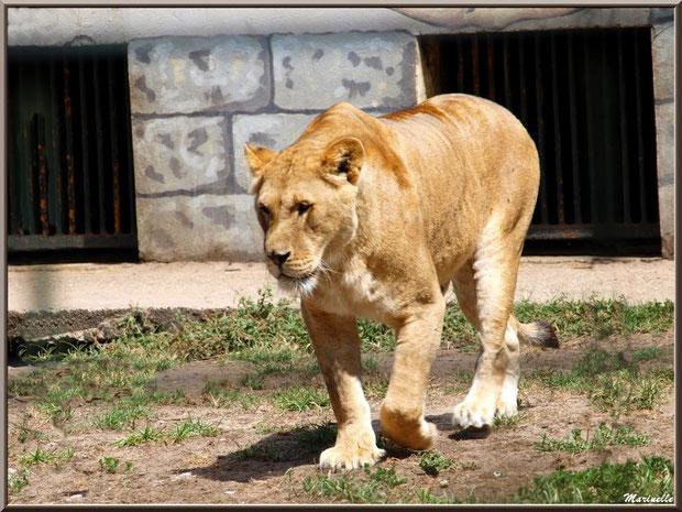 Lionnne, Zoo du Bassin d'Arcachon, La Teste de Buch (33)