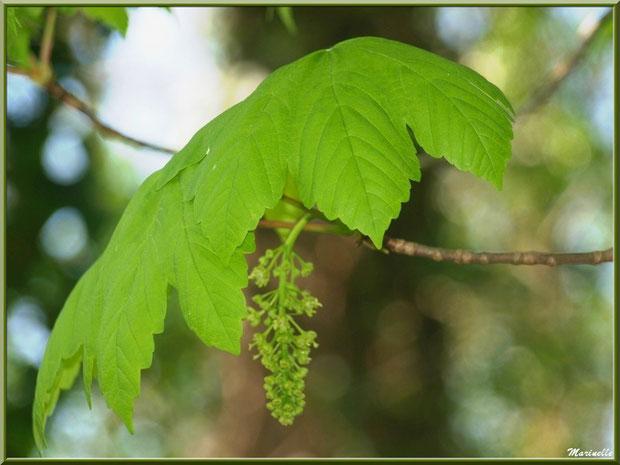 Erable Sucomore ou Rebale Faux Platane ou Plaine Rouge en fleurs, flore Bassin d'Arcachon (33)