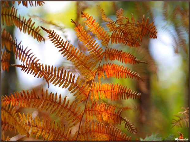 Fougères automnales, en forêt sur le Bassin d'Arcachon (33