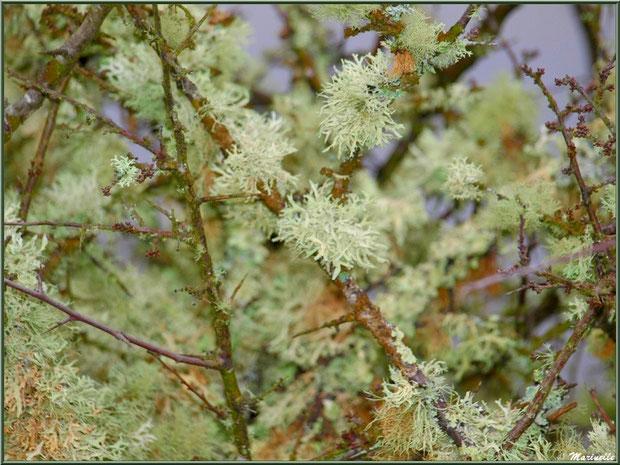 Mousse des Chênes ou Evernia Prunastri telle des fleurs en bordure du Sentier du Littoral, secteur Moulin de Cantarrane, Bassin d'Arcachon