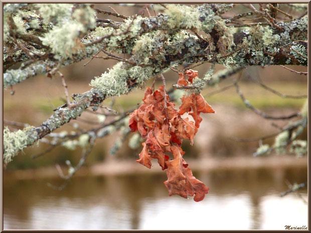 Branche hivernale de chêne en bordure d'un réservoir, Sentier du Littoral, secteur Port du Teich en longeant La Leyre, Le Teich, Bassin d'Arcachon (33)